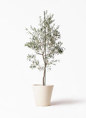 観葉植物 オリーブの木 10号 バルネア フォリオソリッド クリーム 付き