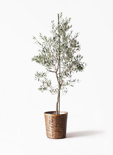 観葉植物 オリーブの木 10号 バルネア 竹バスケット 付き