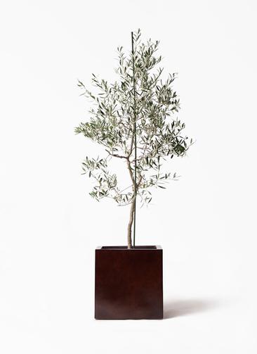 観葉植物 オリーブの木 10号 バルネア MOKU キューブ 付き