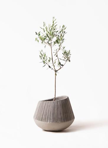 観葉植物 オリーブの木 8号 カラマタ エディラウンド グレイ 付き