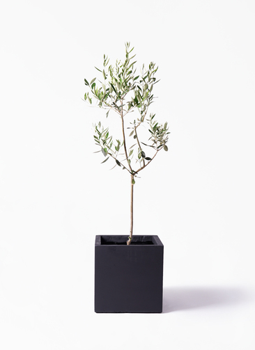 観葉植物 オリーブの木 8号 カラマタ ベータ キューブプランター 黒 付き