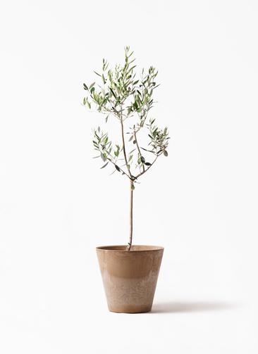 観葉植物 オリーブの木 8号 カラマタ アートストーン ラウンド ベージュ 付き