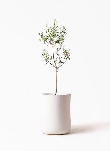 観葉植物 オリーブの木 8号 カラマタ バスク ミドル ホワイト 付き