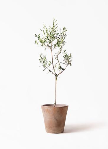 観葉植物 オリーブの木 8号 カラマタ ルーガ アンティコ ソリッド 付き