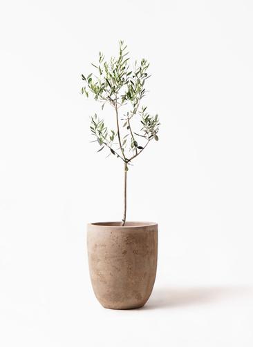 観葉植物 オリーブの木 8号 カラマタ ルーガ アンティコ アルトエッグ 付き