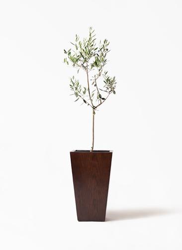 観葉植物 オリーブの木 8号 カラマタ MOKU スクエア 付き