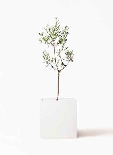 観葉植物 オリーブの木 8号 カラマタ バスク キューブ 付き