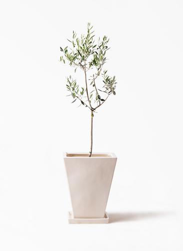 観葉植物 オリーブの木 8号 カラマタ スクエアハット 白 付き