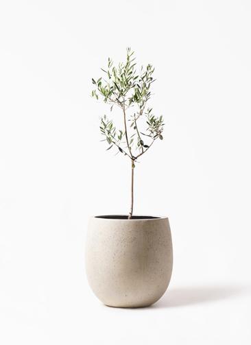 観葉植物 オリーブの木 8号 カラマタ テラニアス バルーン アンティークホワイト 付き