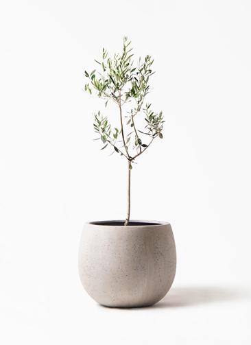 観葉植物 オリーブの木 8号 カラマタ テラニアス ローバルーン アンティークホワイト 付き