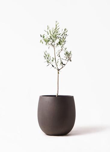 観葉植物 オリーブの木 8号 カラマタ テラニアス バルーン アンティークブラウン 付き