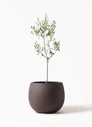 観葉植物 オリーブの木 8号 カラマタ テラニアス ローバルーン アンティークブラウン 付き