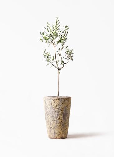 観葉植物 オリーブの木 8号 カラマタ アトランティス クルーシブル 付き