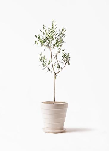 観葉植物 オリーブの木 8号 カラマタ サバトリア 白 付き