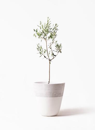 観葉植物 オリーブの木 8号 カラマタ ジュピター 白 付き