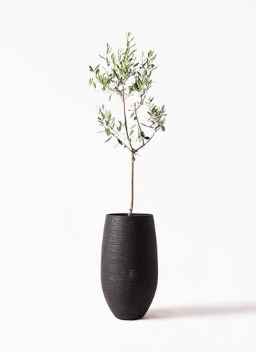 観葉植物 オリーブの木 8号 カラマタ フォンティーヌトール 黒 付き