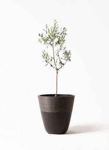 観葉植物 オリーブの木 8号 カラマタ ジュピター 黒 付き