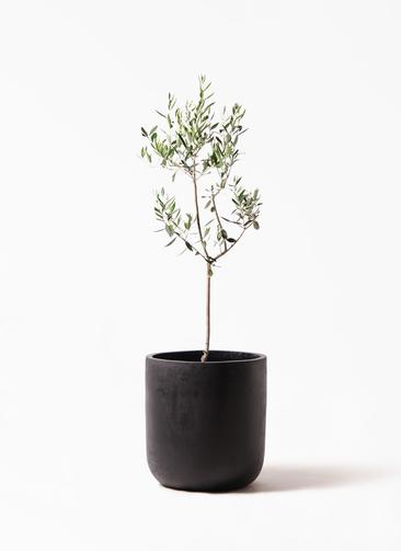 観葉植物 オリーブの木 8号 カラマタ エルバ 黒 付き