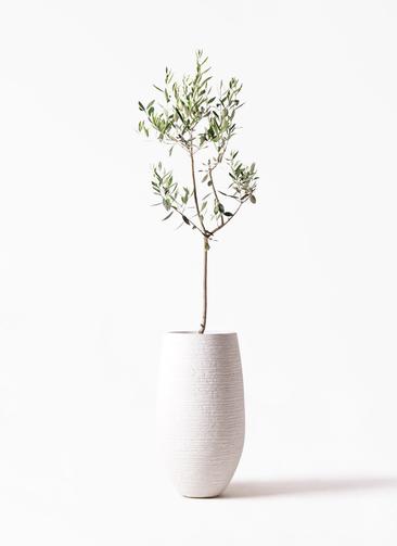 観葉植物 オリーブの木 8号 カラマタ フォンティーヌトール 白 付き