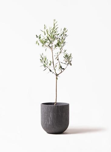 観葉植物 オリーブの木 8号 カラマタ カルディナダークグレイ 付き