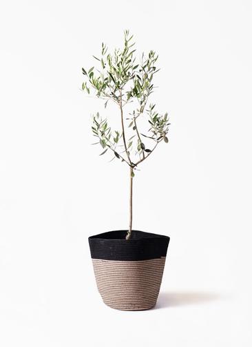 観葉植物 オリーブの木 8号 カラマタ リブバスケットNatural and Black 付き