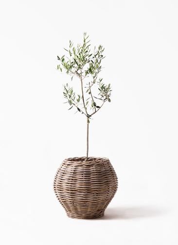 観葉植物 オリーブの木 8号 カラマタ グレイラタン 付き
