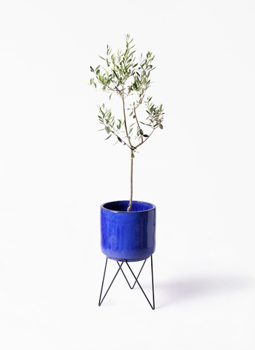 観葉植物 オリーブの木 8号 カラマタ ビトロ エンデカ 鉢カバースタンド付 ブルー 付き