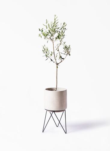観葉植物 オリーブの木 8号 カラマタ ビトロ エンデカ 鉢カバースタンド付 クリーム 付き