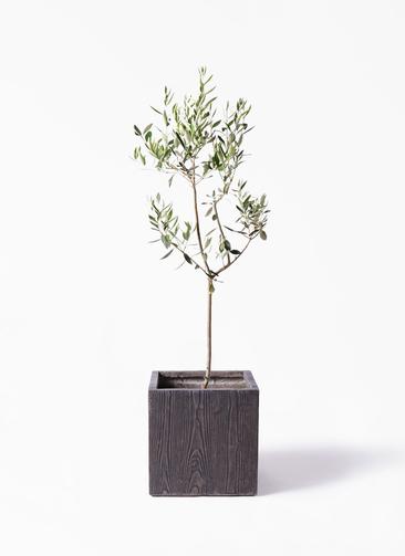 観葉植物 オリーブの木 8号 カラマタ ベータ キューブプランター ウッド 茶 付き