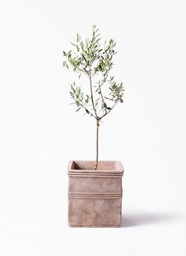 観葉植物 オリーブの木 8号 カラマタ テラアストラ カペラキュビ 赤茶色 付き