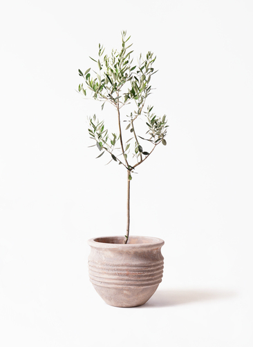 観葉植物 オリーブの木 8号 カラマタ テラアストラ リゲル 赤茶色 付き