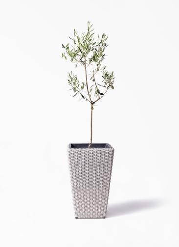 観葉植物 オリーブの木 8号 カラマタ ウィッカーポット スクエアロング OT 白 付き