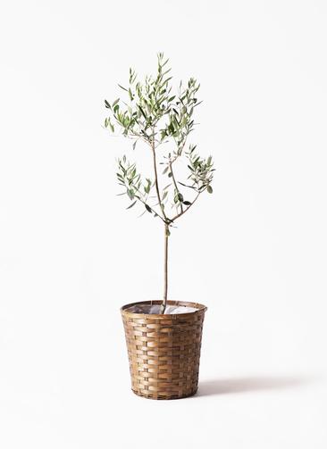 観葉植物 オリーブの木 8号 カラマタ 竹バスケット 付き