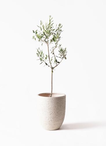 観葉植物 オリーブの木 8号 カラマタ ビアスアルトエッグ 白 付き