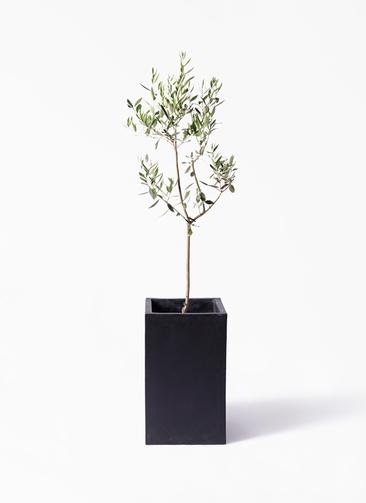 観葉植物 オリーブの木 8号 カラマタ セドナロング 墨 付き