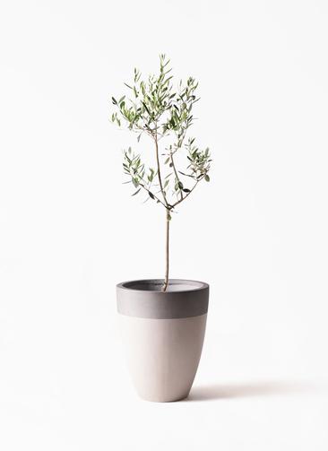 観葉植物 オリーブの木 8号 カラマタ ファイバーストーンカプリ サンディホワイト 付き