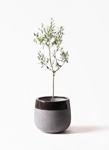 観葉植物 オリーブの木 8号 カラマタ ファイバーストーンタウルス 黒 付き