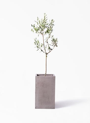 観葉植物 オリーブの木 8号 カラマタ セドナロング グレイ 付き