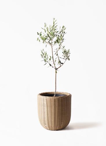 観葉植物 オリーブの木 8号 カラマタ ウィッカーポットエッグ ベージュ 付き