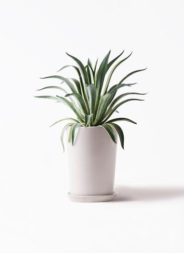 観葉植物 アガベ 7号 ベネズエラ LO ラウンド 付き