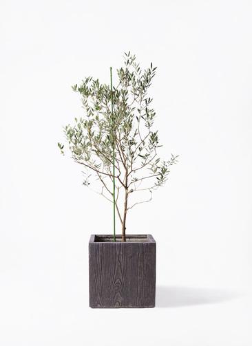観葉植物 オリーブの木 8号 カリフォルニアクイーン ベータ キューブプランター ウッド 茶 付き