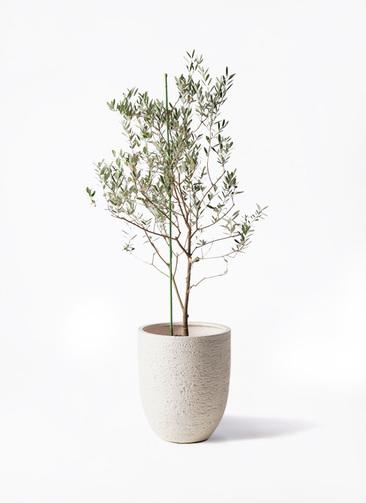 観葉植物 オリーブの木 8号 カリフォルニアクイーン ビアスアルトエッグ 白 付き