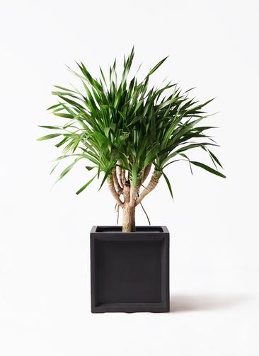 観葉植物 ドラセナ パラオ 8号 ブリティッシュキューブ 付き