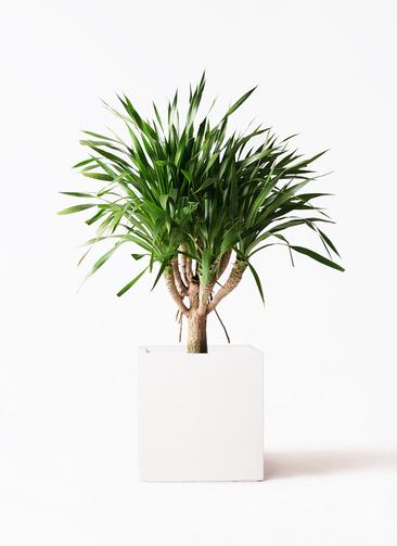 観葉植物 ドラセナ パラオ 8号 バスク キューブ 付き