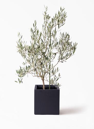 観葉植物 オリーブの木 8号 オヒブランカ ベータ キューブプランター 黒 付き