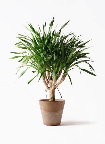 観葉植物 ドラセナ パラオ 8号 アートストーン ラウンド ベージュ 付き