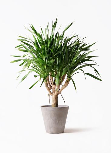 観葉植物 ドラセナ パラオ 8号 アートストーン ラウンド グレー 付き