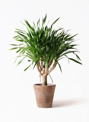 観葉植物 ドラセナ パラオ 8号 ルーガ アンティコ ソリッド 付き