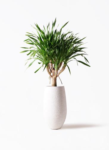 観葉植物 ドラセナ パラオ 8号 フォンティーヌトール 白 付き