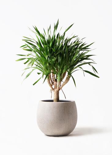 観葉植物 ドラセナ パラオ 8号 テラニアス ローバルーン アンティークホワイト 付き